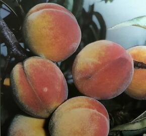 Broskvoň - středně raná 'B. J. Elberta' - Prunus persica 'B. J. Elberta'