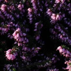 Vřesovec pleťový 'Rosy Gem' - Erica carnea 'Rosy Gem'