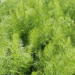 Fenykl obecný 'Greeny' - Foeniculum vulgare 'Greeny'