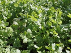 Koriandr setý 'Caribe' - Coriandrum sativum 'Caribe'