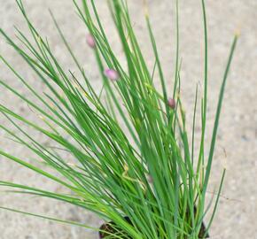 Pažitka pobřežní 'Staro' - Allium schoenoprasum 'Staro'