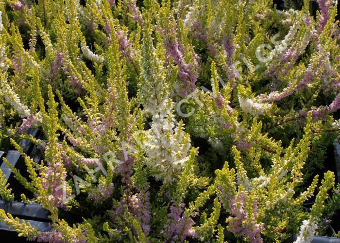 Vřes obecný 'David Hagenaars' - Calluna vulgaris 'David Hagenaars'