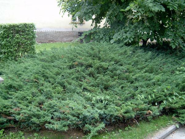 Jalovec polehlý - Juniperus horizontalis