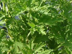 Muškát, pelargonie vonná 'Citriodorum' - Pelargonium graveolens 'Citriodorum'
