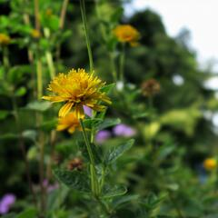 Janeba drsná 'Asahi' - Heliopsis helianthoides 'Asahi'