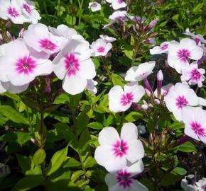 Plamenka latnatá 'Adessa Pink Star' - Phlox paniculata 'Adessa Pink Star'