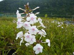 Plamenka 'Omega' - Phlox maculata 'Omega'