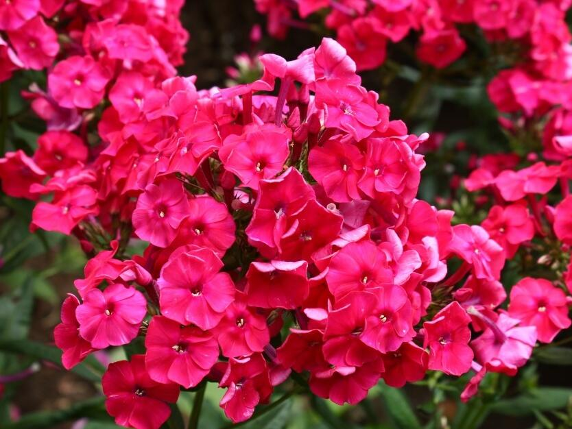 Plamenka latnatá 'Peacock Cherry Red' - Phlox paniculata 'Peacock Cherry Red'