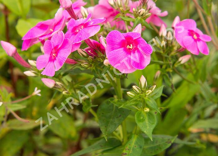 Plamenka latnatá 'Adessa Rose Eye' - Phlox paniculata 'Adessa Rose Eye'