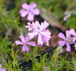 Plamenka šídlovitá 'Moerheimii' - Phlox subulata 'Moerheimii'