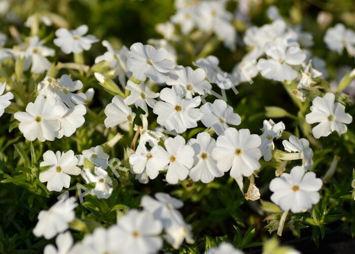 Plamenka šídlovitá 'Maischnee' - Phlox subulata 'Maischnee'
