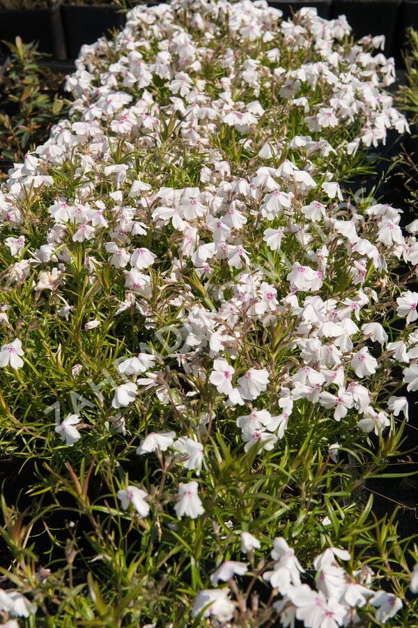 Plamenka šídlovitá 'White Delight' - Phlox subulata 'White Delight'