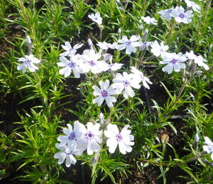 Plamenka šídlovitá 'Pharao Blue Eye' - Phlox subulata 'Pharao Blue Eye'