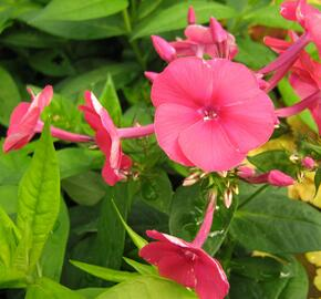 Plamenka latnatá 'Adessa Red' - Phlox paniculata 'Adessa Red'