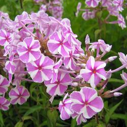 Plamenka 'Natascha' - Phlox maculata 'Natascha'