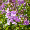 Plamenka 'Alpha' - Phlox maculata 'Alpha'