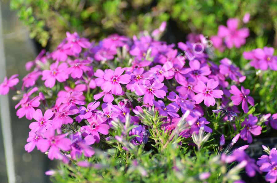 Plamenka 'Waterloo' - Phlox douglasii 'Waterloo'