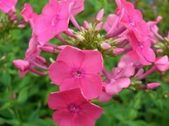 Plamenka 'Pink Attraction' - Phlox arendsii 'Pink Attraction'