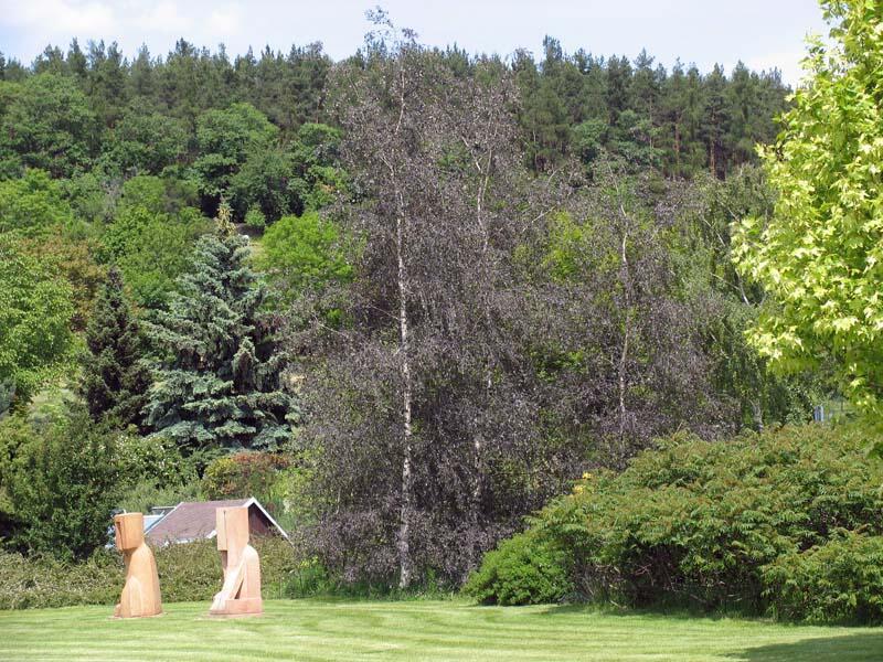 Bříza bělokorá 'Purpurea' - Betula pendula 'Purpurea'