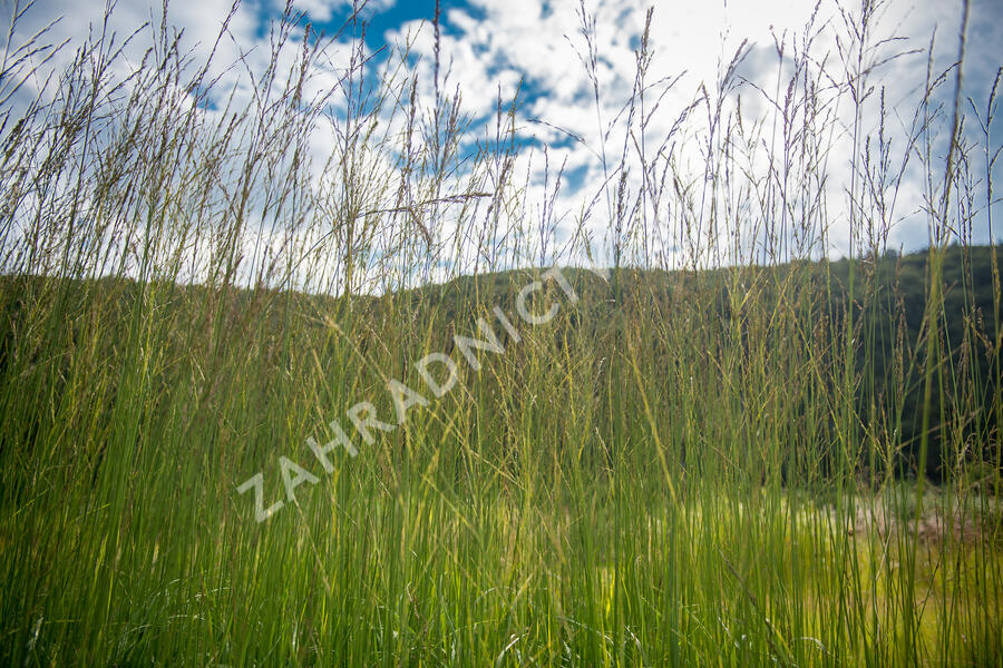 Bezkolenec rákosovitý 'Skyracer' - Molinia arundinacea 'Skyracer'