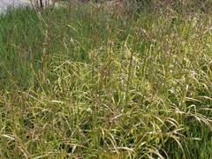 Ozdobnice čínská 'Ghana' - Miscanthus sinensis 'Ghana'