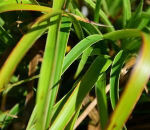 Bika lesní 'Aureomarginata' - Luzula sylvatica 'Aureomarginata'