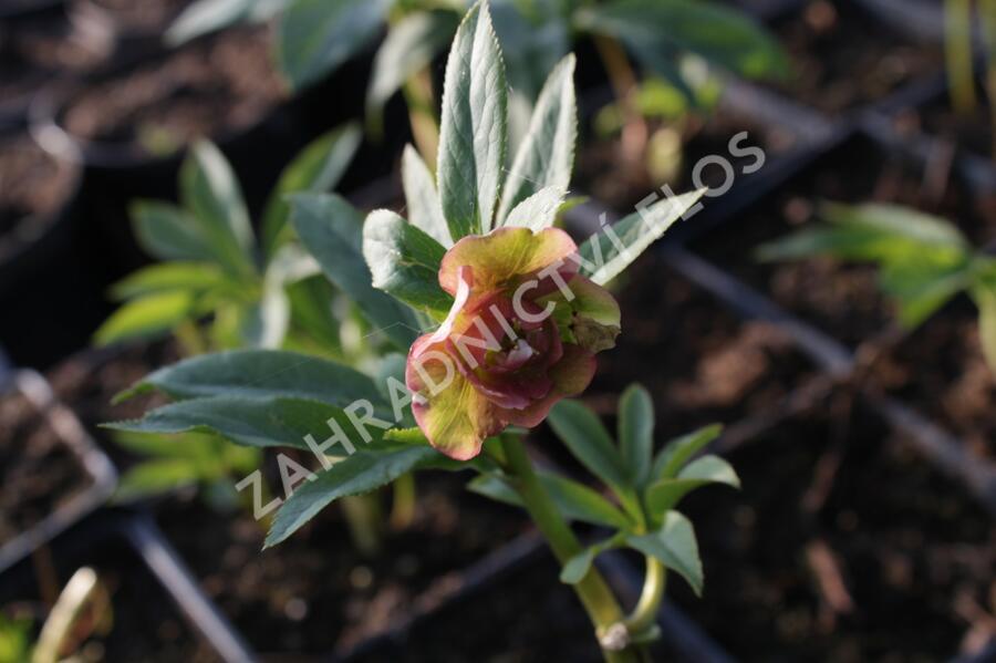 Čemeřice východní 'Double Ellen Red' - Helleborus orientalis 'Double Ellen Red'