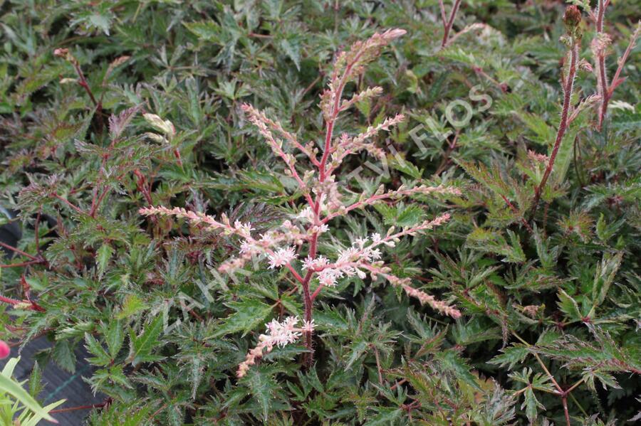 Čechrava 'Sprite' - Astilbe simplicifolia 'Sprite'