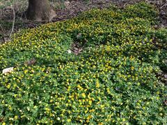Sasanka pryskyřníkovitá - Anemone ranunculoides