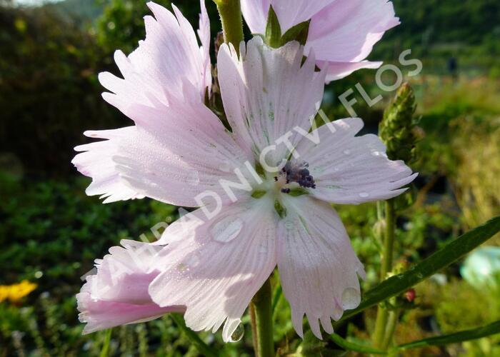 Slézovník 'Elsie Heugh' - Sidalcea malviflora 'Elsie Heugh'