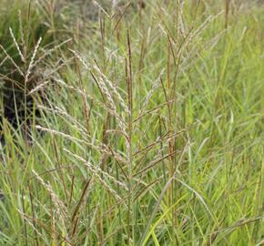 Ozdobnice čínská 'Purple Fall' - Miscanthus sinensis 'Purple Fall'
