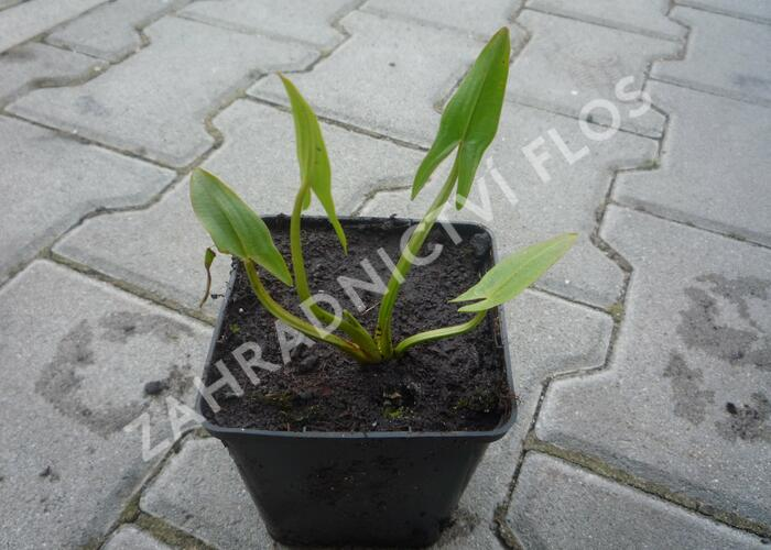 Šípatka střelolistá - Sagittaria sagittifolia