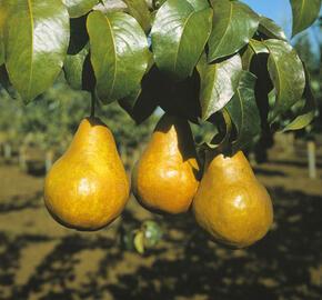 Hrušeň podzimní 'Boscova lahvice' - Pyrus communis 'Boscova lahvice'