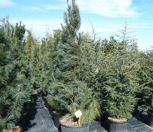 Borovice vejmutovka 'Fastigiata' - Pinus strobus 'Fastigiata'