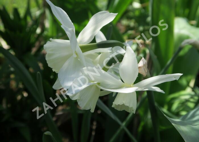 Narcis Triandrus 'Thalia' - Narcissus Triandrus 'Thalia'