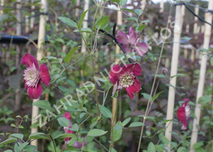 Plamének vlašský 'Purpurea Plena Elegans' - Clematis viticella 'Purpurea Plena Elegans'