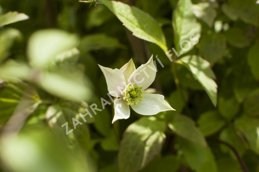 Plamének horský 'Grandiflora' - Clematis montana 'Grandiflora'