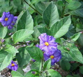 Lilek modrý 'Blau' - Solanum rantonetti 'Blau'