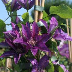 Plamének 'Star of India' - Clematis 'Star of India'