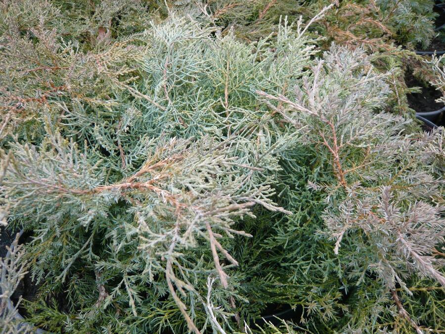 Jalovec prostřední 'Pfitzeriana Glauca' - Juniperus media 'Pfitzeriana Glauca'