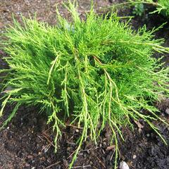 Jalovec prostřední 'Mordigan Gold' - Juniperus media 'Mordigan Gold'
