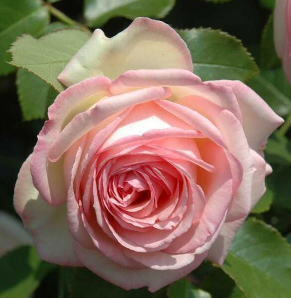 Růže pnoucí Meilland 'Eden Rose' - Rosa PN 'Eden Rose'