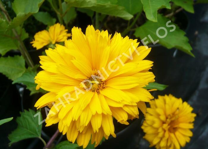 Janeba drsná 'Goldgefieder' - Heliopsis helianthoides 'Goldgefieder'