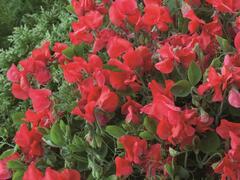 Hrachor vonný 'Villa Roma Scarlet' - Lathyrus odoratus 'Villa Roma Scarlet'