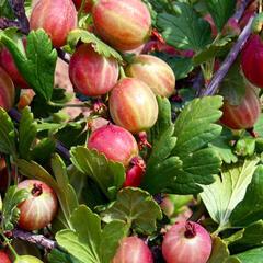 Angrešt červený beztrnný 'Captivator' - Grossularia uva crispa 'Captivator'