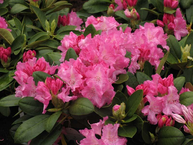 Pěnišník 'Lumina' - Rhododendron (Y) 'Lumina'