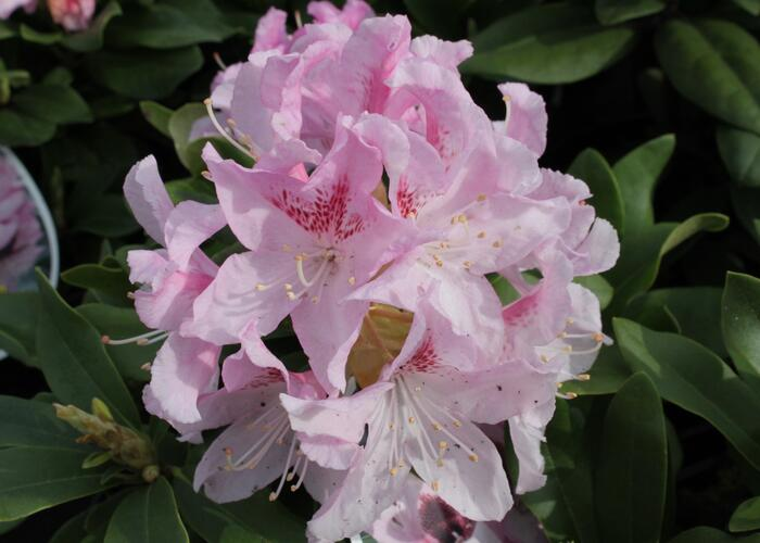 Pěnišník 'Cheer' - Rhododendron 'Cheer'