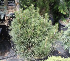 Borovice černá 'Würstle' - Pinus nigra 'Würstle'