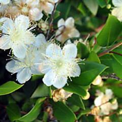 Myrta obecná - Myrtus communis