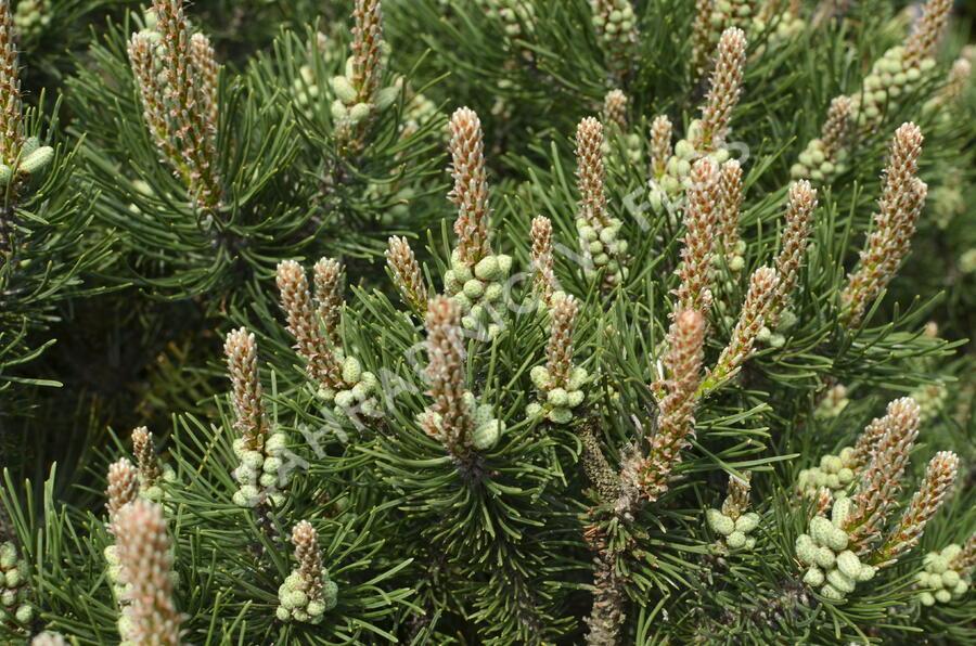 Borovice kleč 'Laurin' - Pinus mugo 'Laurin'